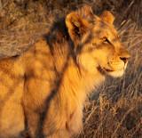 FELID - LION - AFRICAN LION - SICK ATTACKERS - ETOSHA NATIONAL PARK NAMIBIA (34).JPG