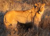FELID - LION - AFRICAN LION - SICK ATTACKERS - ETOSHA NATIONAL PARK NAMIBIA (42).JPG