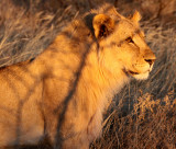 FELID - LION - AFRICAN LION - SICK ATTACKERS - ETOSHA NATIONAL PARK NAMIBIA (47).JPG