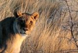 FELID - LION - AFRICAN LION - SICK ATTACKERS - ETOSHA NATIONAL PARK NAMIBIA (58).JPG