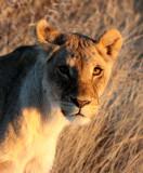FELID - LION - AFRICAN LION - SICK ATTACKERS - ETOSHA NATIONAL PARK NAMIBIA (9).JPG