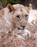 FELID - LION - AFRICAN LION - SOMS FIRST LION -  IMFOLOZI NATIONAL PARK SOUTH AFRICA (3).JPG