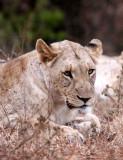 FELID - LION - AFRICAN LION - SOMS FIRST LION -  IMFOLOZI NATIONAL PARK SOUTH AFRICA (7).JPG