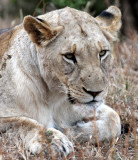 FELID - LION - AFRICAN LION - SOMS FIRST LIONS - IMFOLOZI NATIONAL PARK SOUTH AFRICA (10).JPG