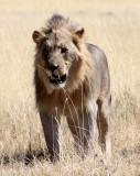 FELID - LION - AFRICAN LION - THREE MALES - ETOSHA NATIONAL PARK NAMIBIA (10).JPG