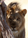 FELID - LION - AFRICAN LION - THREE MALES - ETOSHA NATIONAL PARK NAMIBIA (106).JPG