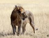 FELID - LION - AFRICAN LION - THREE MALES - ETOSHA NATIONAL PARK NAMIBIA (119).JPG