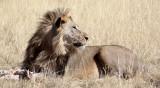FELID - LION - AFRICAN LION - THREE MALES - ETOSHA NATIONAL PARK NAMIBIA (133).JPG