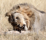 FELID - LION - AFRICAN LION - THREE MALES - ETOSHA NATIONAL PARK NAMIBIA (143).JPG