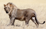 FELID - LION - AFRICAN LION - THREE MALES - ETOSHA NATIONAL PARK NAMIBIA (172).JPG