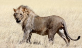 FELID - LION - AFRICAN LION - THREE MALES - ETOSHA NATIONAL PARK NAMIBIA (173).JPG