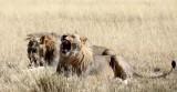 FELID - LION - AFRICAN LION - THREE MALES - ETOSHA NATIONAL PARK NAMIBIA (174).JPG