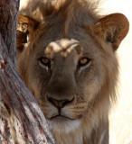 FELID - LION - AFRICAN LION - THREE MALES - ETOSHA NATIONAL PARK NAMIBIA (181).JPG