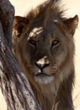 FELID - LION - AFRICAN LION - THREE MALES - ETOSHA NATIONAL PARK NAMIBIA (191).JPG