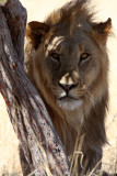 FELID - LION - AFRICAN LION - THREE MALES - ETOSHA NATIONAL PARK NAMIBIA (192).JPG