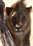 FELID - LION - AFRICAN LION - THREE MALES - ETOSHA NATIONAL PARK NAMIBIA (195).JPG