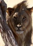 FELID - LION - AFRICAN LION - THREE MALES - ETOSHA NATIONAL PARK NAMIBIA (196).JPG