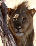 FELID - LION - AFRICAN LION - THREE MALES - ETOSHA NATIONAL PARK NAMIBIA (197).JPG