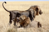 FELID - LION - AFRICAN LION - THREE MALES - ETOSHA NATIONAL PARK NAMIBIA (25).JPG