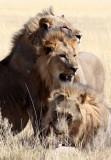 FELID - LION - AFRICAN LION - THREE MALES - ETOSHA NATIONAL PARK NAMIBIA (60).JPG