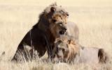 FELID - LION - AFRICAN LION - THREE MALES - ETOSHA NATIONAL PARK NAMIBIA (61).jpg