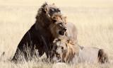 FELID - LION - AFRICAN LION - THREE MALES - ETOSHA NATIONAL PARK NAMIBIA (62).JPG