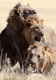 FELID - LION - AFRICAN LION - THREE MALES - ETOSHA NATIONAL PARK NAMIBIA (63).jpg