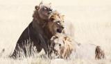 FELID - LION - AFRICAN LION - THREE MALES - ETOSHA NATIONAL PARK NAMIBIA (65).jpg