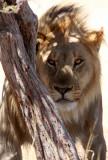 FELID - LION - AFRICAN LION - THREE MALES - ETOSHA NATIONAL PARK NAMIBIA (85).JPG