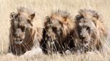 FELID - LION - AFRICAN LION - THREE MALES - ETOSHA NATIONAL PARK NAMIBIA (89).JPG