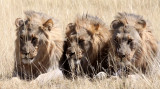 FELID - LION - AFRICAN LION - THREE MALES - ETOSHA NATIONAL PARK NAMIBIA (91).JPG