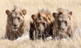 FELID - LION - AFRICAN LION - THREE MALES - ETOSHA NATIONAL PARK NAMIBIA (94).JPG