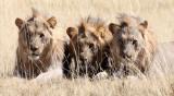 FELID - LION - AFRICAN LION - THREE MALES - ETOSHA NATIONAL PARK NAMIBIA (95).JPG