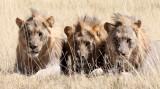FELID - LION - AFRICAN LION - THREE MALES - ETOSHA NATIONAL PARK NAMIBIA (96).JPG
