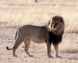 FELID - LION - BLACK-MANED KALAHARI LION - KGALAGADI NATIONAL PARK SOUTH AFRICA (36).JPG