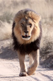 FELID - LION - BLACK-MANED KALAHARI LION - KGALAGADI NATIONAL PARK SOUTH AFRICA (52).JPG