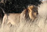 FELID - LION - KALAHARI BLACK-MANED LION - KALAHARI GEMSBOK NP (152).JPG