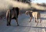 FELID - LION - KALAHARI BLACK-MANED LION - KALAHARI GEMSBOK NP (162).JPG
