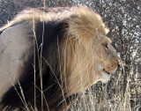 FELID - LION - KALAHARI BLACK-MANED LION - KALAHARI GEMSBOK NP (192).JPG