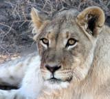 FELID - LION - KALAHARI BLACK-MANED LION - KALAHARI GEMSBOK NP (2).JPG
