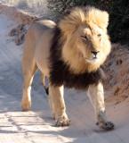FELID - LION - KALAHARI BLACK-MANED LION - KALAHARI GEMSBOK NP (206).JPG