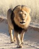 FELID - LION - KALAHARI BLACK-MANED LION - KALAHARI GEMSBOK NP (208).JPG