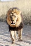 FELID - LION - KALAHARI BLACK-MANED LION - KALAHARI GEMSBOK NP (224).JPG