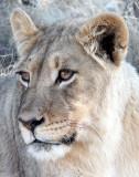 FELID - LION - KALAHARI BLACK-MANED LION - KALAHARI GEMSBOK NP (65).JPG