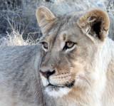FELID - LION - KALAHARI BLACK-MANED LION - KALAHARI GEMSBOK NP (68).JPG
