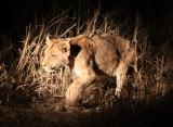 FELID - LION - KRUGER LIONS - KRUGER NATIONAL PARK SOUTH AFRICA (11).JPG