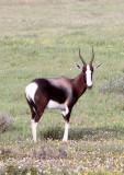 BOVID - BLESBOK - WEST COAST NATIONAL PARK SOUTH AFRICA (21).JPG