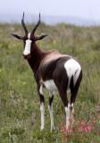 BOVID - BONTEBOK - BONTEBOK NATIONAL PARK SOUTH AFRICA (18).JPG