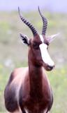 BOVID - BONTEBOK - BONTEBOK NATIONAL PARK SOUTH AFRICA (4).JPG