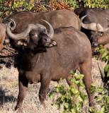 BOVID - BUFFALO - CAPE BUFFALO - KRUGER NATIONAL PARK SOUTH AFRICA (15).JPG
